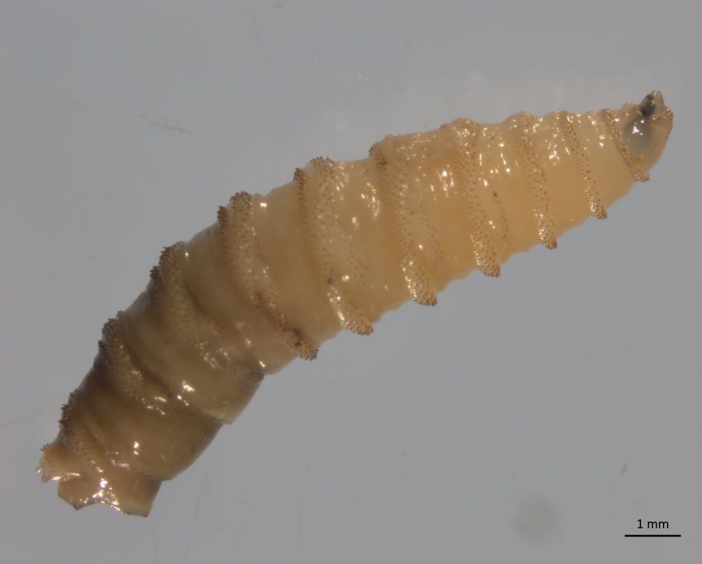 UF experts addressing outbreak of New World screwworm fly in Florida Keys
