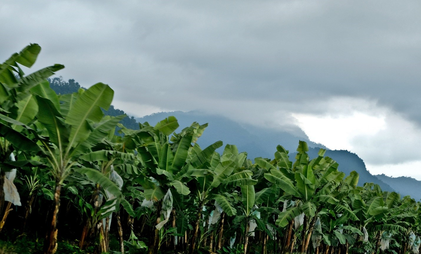 El Oro Ecuador roadside banana cultivation